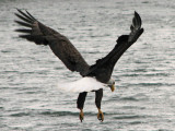 Encounter with a Great American Bald Eagle