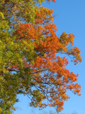 A mix of colors on a single tree