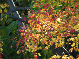Leaves with both red and yellow