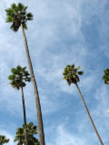 Palm trees of Hollywood