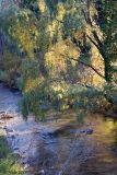 Fall Willow