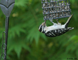 Hairy Woodpecker spring