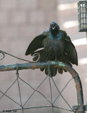 Grackle in a Bad spring Mood