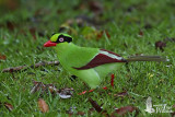 Adult Short-tailed Green Magpie