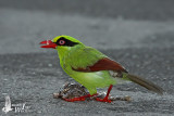 Immature Short-tailed Green Magpie