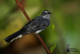 Adult Spotted Fantail