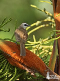 Adult Yellow-vented Bulbul