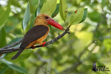 Adult Brown-winged Kingfisher