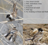 Pallas Reed Bunting