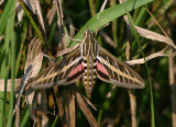 7894 - Hyles lineata; White-lined Sphinx Moth