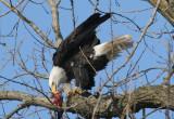 Bald Eagle feeding on a fish