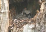 Great Horned Owl; same fledgling; 10 days older
