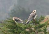 White-tailed Kites; juveniles