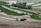 The mountainside rice terraces of SE Asia and China are among the great wonders of the world