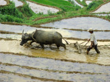 Rice terrace -- preparing soil for planting with harrow