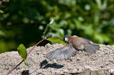 Chestnut-backed Chickadee juvenile