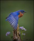 bluebird_2008
