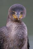 cormorant 104