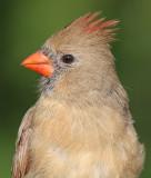 cardinal 271