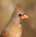cardinal 296
