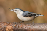 white-breasted nuthatch 232