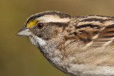 white-throated sparrow 131