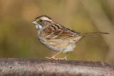 white-throated sparrow 132