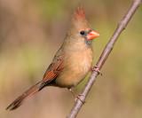 cardinal 298