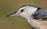 white-breasted nuthatch 233