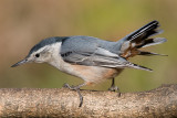 white-breasted nuthatch 235