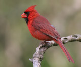 cardinal 266