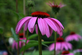 Coneflower: For Elizabeth.