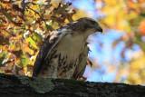 Red-Shouldered HawkOctober 22, 2009