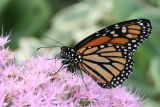 September 19, 2006Monarch Butterfly