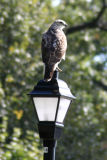 Hawk on Lamp Post