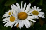 October 11, 2006Daisies