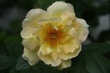 Yellow RoseJune 14, 2008