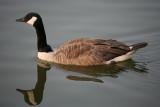 Goose ReflectionJuly 8, 2008