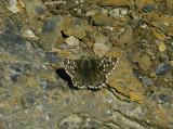 Blomvisslare (Pyrgus andromedae)