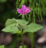 Åkerbär (Rubus arcticus)