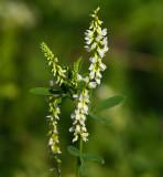 Vit sötväppling (Melilotus albus)