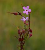 Stinknäva (Geranium robertianum)