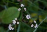 Sårläka (Sanicula europaea)