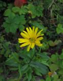 Ljusöga (Buphthalmum salicifolium)