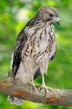 Fledged Red-shouldered Hawk Chick, Mercer Wetlands