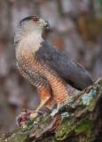 Cooper's Hawk, Dekalb County