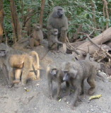More baboons