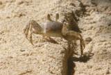 Crab at Anse Boileau