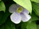 Flower in Baie Lazare