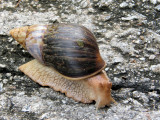 Snail on the road to Mango Lodge